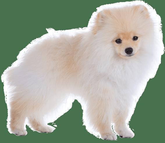 Hundar till salu